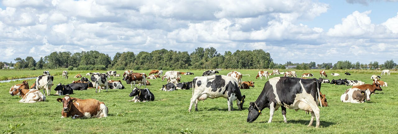 Group of cows grazing in the pasture, peaceful and sunny in Dutch landscape of flat land with a blue sky with clouds, panoramic wide view